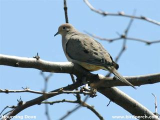 Mourning_Dove-06